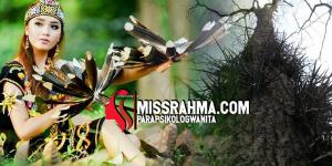 Bulu Perindu Asli Dayak Kalimantan